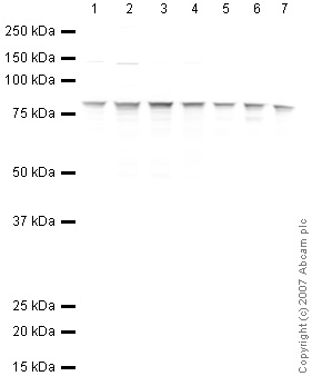 Western blot - Ezrin antibody (ab41672)