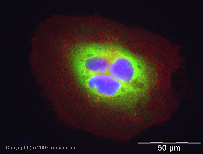 Immunocytochemistry/ Immunofluorescence - Cyclophilin A antibody (ab41684)