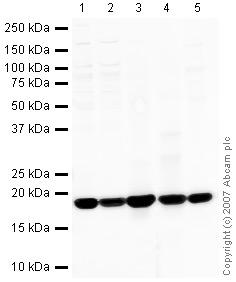 Western blot - Cyclophilin A antibody (ab41684)
