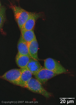 Immunocytochemistry/ Immunofluorescence - SNAP25 antibody (ab41726)
