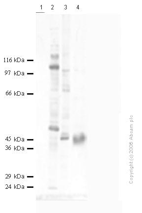 Western blot - DPP6 antibody (ab41809)