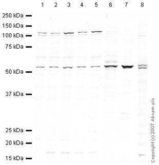 Western blot - NFIA antibody (ab41851)