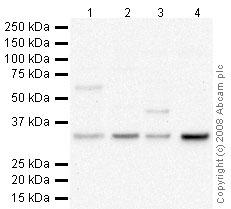 Western blot - COQ10B antibody (ab41997)