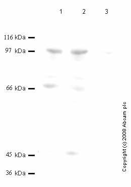 Western blot - DPP9 antibody - Catalytic domain (ab42080)