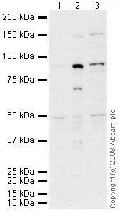 Western blot - MSK2 / RSK-B antibody (ab42101)