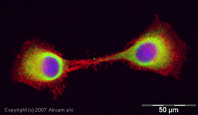 Immunocytochemistry/ Immunofluorescence - Cyclophilin A antibody (ab42408)