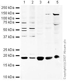 Western blot - Cyclophilin A antibody (ab42408)