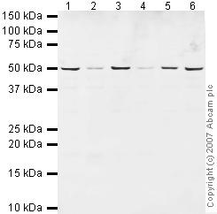 Western blot - Anti-Radical Fringe  antibody (ab42429)