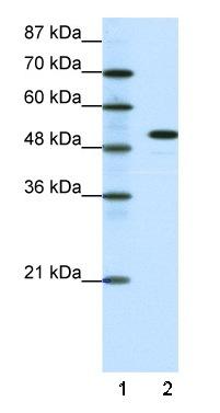 Western blot - SPIB antibody (ab42436)