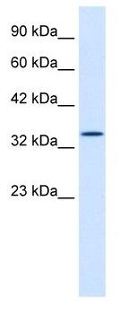 Western blot - Hex antibody (ab42441)