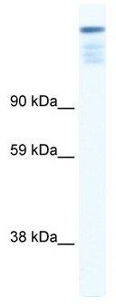 Western blot - ZFP106 antibody (ab42470)