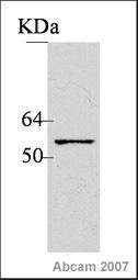 Western blot - SOX3 antibody (ab42471)