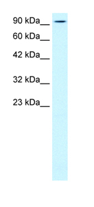 Western blot - Anti-KIF5B antibody (ab42492)