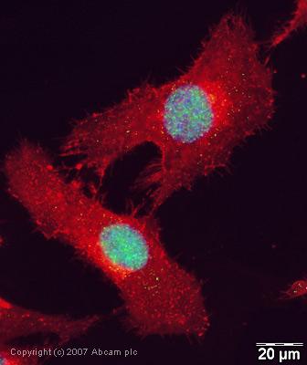 Immunocytochemistry/ Immunofluorescence - Rad21 antibody (ab42522)