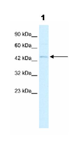 Western blot - RNF36  antibody (ab42543)