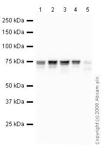 Western blot - MCAK antibody (ab42676)