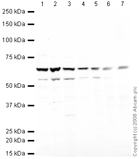 Western blot - Heparanase 1 antibody (ab42817)