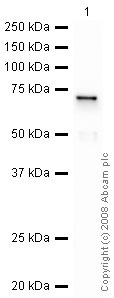 Western blot - Galectin 8 antibody (ab42879)