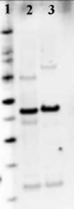 Western blot - Anti-ATP Synthase beta antibody (ab43176)