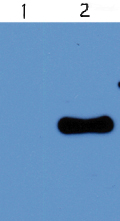 Western blot - West Nile Virus M glycoprotein antibody (ab43781)