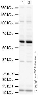 Western blot - WWP1 antibody (ab43791)