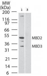 Western blot - Anti-MBD2 + MBD3 antibody [106B691] - ChIP Grade (ab45027)