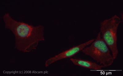Immunocytochemistry/ Immunofluorescence - PDCD4 antibody (ab45124)