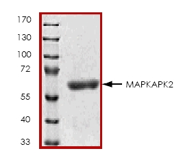 SDS-PAGE - MAPKAP Kinase 2  protein (ab45154)