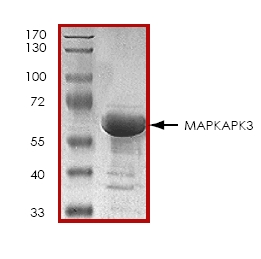 SDS-PAGE - MAPKAP Kinase 3 protein (ab45155)