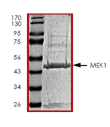 SDS-PAGE - MEK1 protein (ab45156)