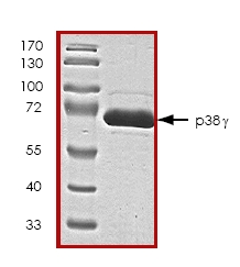 SDS-PAGE - SAPK3 protein (ab45160)