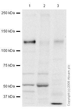 Western blot - Tomosyn antibody (ab45228)
