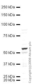 Western blot - Anti-PPAR gamma 1+2  antibody (ab45278)
