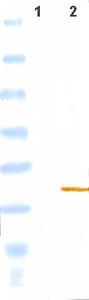 Western blot - ISG15 antibody (ab45285)