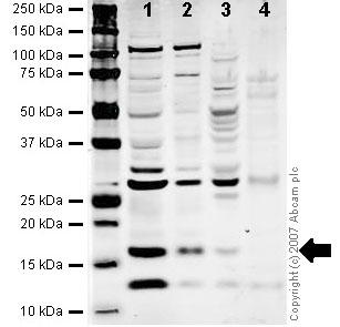 Western blot - TCEB2 antibody (ab45297)