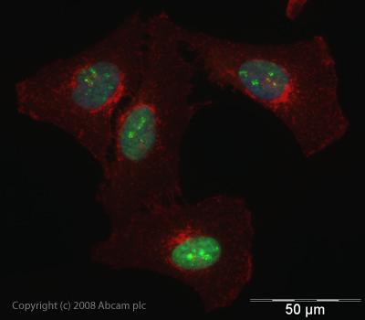 Immunocytochemistry/ Immunofluorescence - hnRNP L antibody (ab45317)