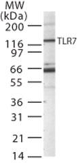 Western blot - TLR7 antibody (ab45371)