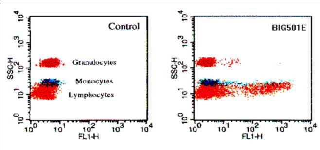 Western blot - IL27 antibody (ab45421)