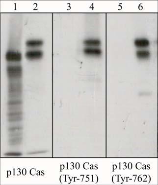 Western blot - BCAR1 (phospho Y751) antibody (ab45486)
