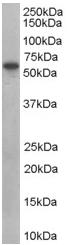 Western blot - SH3PX1 antibody (ab45866)