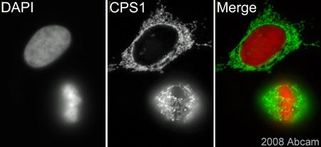 Immunocytochemistry/ Immunofluorescence - CPS1 antibody (ab45956)