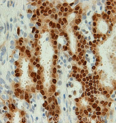 Immunohistochemistry (Formalin/PFA-fixed paraffin-embedded sections) - FKBP51 antibody (ab46002)