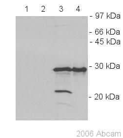 Western blot - Lin28 antibody (ab46020)