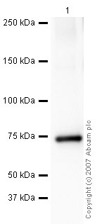 Western blot - C5/C5b antibody (ab46153)