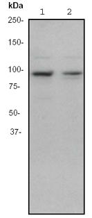 Western blot - EEF2K antibody [EP724Y] (ab46787)