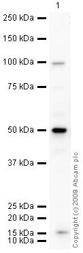Western blot - HIR1 antibody (ab46878)