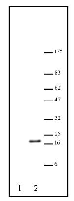 Western blot - Histone H3 (acetyl K23) antibody (ab46982)