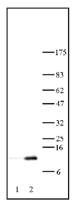 Western blot - Histone H3 (acetyl K12) antibody (ab46983)