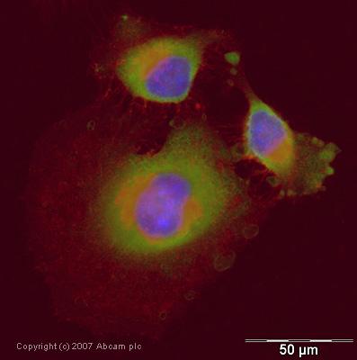 Immunocytochemistry/ Immunofluorescence - Anti-Lactate Dehydrogenase antibody (ab47010)