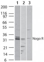 Western blot - Nogo Receptor antibody (ab47080)